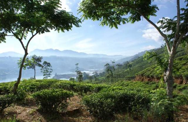Tea field in Sri Lanka
